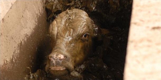 En el Chaco bañan a las vacas