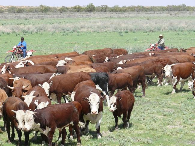 Australia: Promueven ganado a pasto